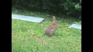 download lagu Rabbit, Auburn Lake, Fri. Aug. 22, 2014 261 gratis