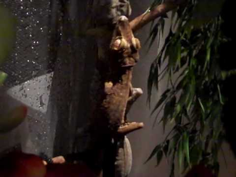 Giant Leaf Tail Geckos BREEDING - PT2 Video
