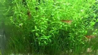 Low tech pico planted tank for Cherry Shrimp