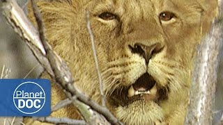 The Asian Lion | Wild Animals - Planet Doc Full Documentaries
