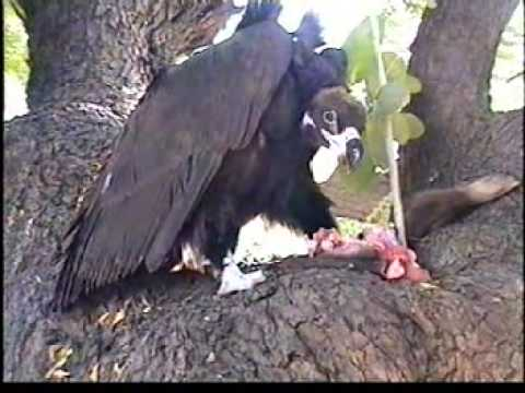 Indian Birds- Cinereous Vulture Video