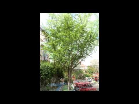 Plant ID:  Maidenhair Tree (Ginkgo biloba)
