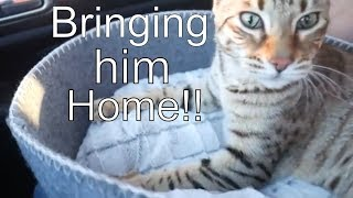 Bringing our pet F3 Savannah cat home for the first time!