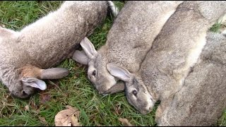 Rabbit Hunting with NightHunterWhippets Ferreting UK Rabbit Pest Control