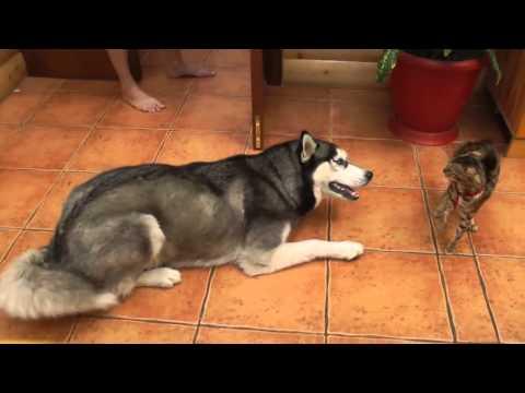 Знакомство хаски и кота / Приколы 2014 / Смешное видео / Забавные животные / Funny animals
