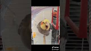 Funny images (sleeping , playing )of my cockatiel