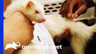 Alexander The Albino Ferret Receives Treatment For Hair Loss | The Vet Life