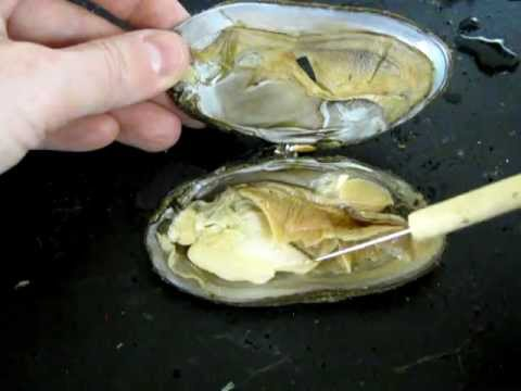 Bivalve Anatomy (freshwater mussel)