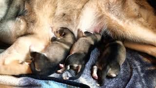 Giant Alaskan Malamute puppies 2 days old