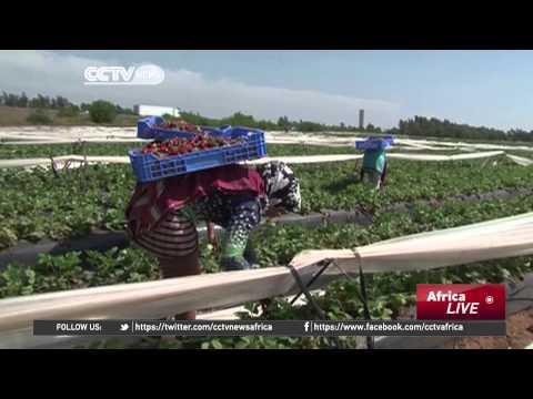 Morocco's strawberry festival