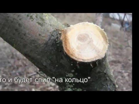 Как правильно удалять большие ветки у садовых деревьев