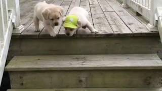 """""""Mini"""" labradores descendo (e subindo) escada perigosa"""
