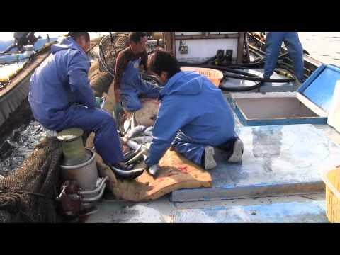 種子島の話題:大崎の定置網漁