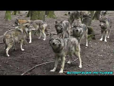 Wölfe / Wolves - ein Film von A. Schnitzler