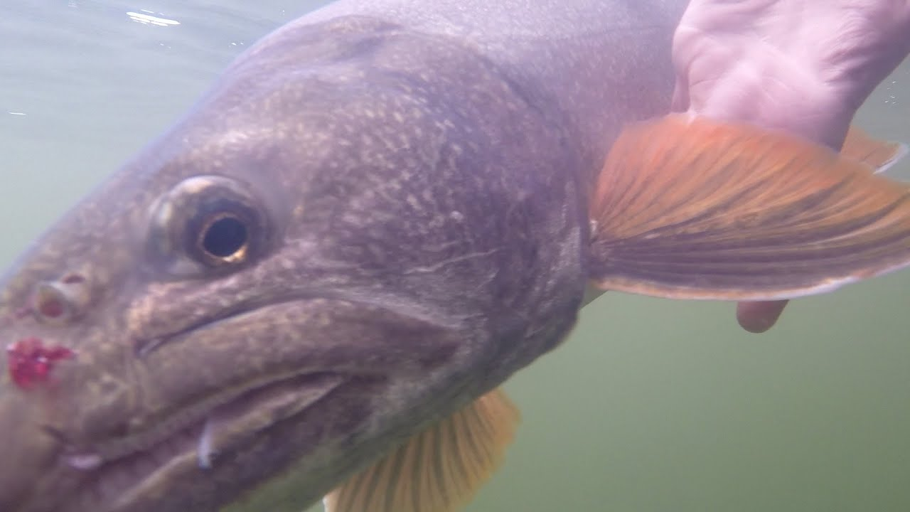 Lake Trout Downrigger Action