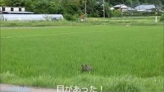 真昼間に田んぼを走る猪(イノシシ)