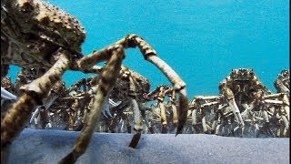Army Of Spider Crabs Shed Their Shells - Blue Planet II