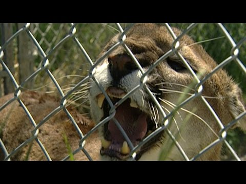 Mom Pries Open Jaw of Mountain Lion To Save 5-Year-Old Son's Life