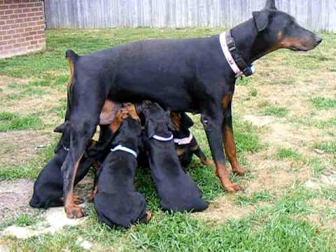 Doberman Pinscher Puppy 3 Months Doberman Pinscher Puppies