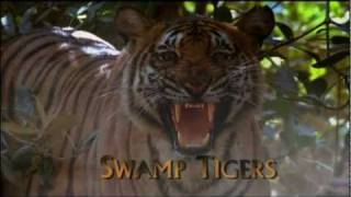 Swamp Tigers from Sundarbans, Part 1/6