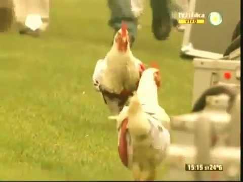 image vidéo  دجاج يقتحم ملعب مباراة بالدوري الأرجنتيني
