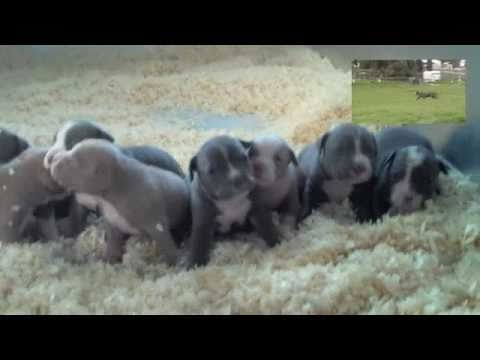 BULLY PITBULL PUPPIE'S WWW.BLUELINEKENNELS.US