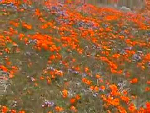 california poppy reserve. California Poppy Reserve