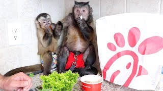 Capuchin Monkeys Enjoy a Chick-Fil-A Lunch!