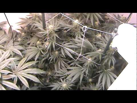 Cannabis grow - Bubba Kush- F 13  - DWC - Flowering. Week 5