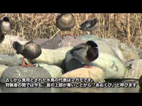 岐阜県の野鳥 03「マガモ」