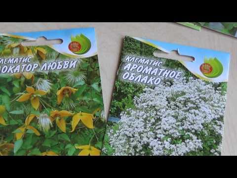 Клематис семенами в домашних условиях