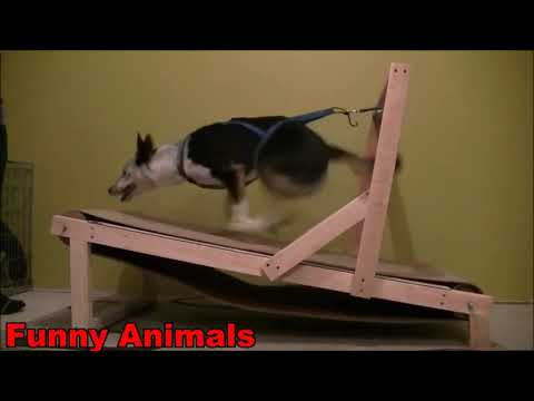 Funny Dogs Video Dogs On Treadmill Video Compilation 2019