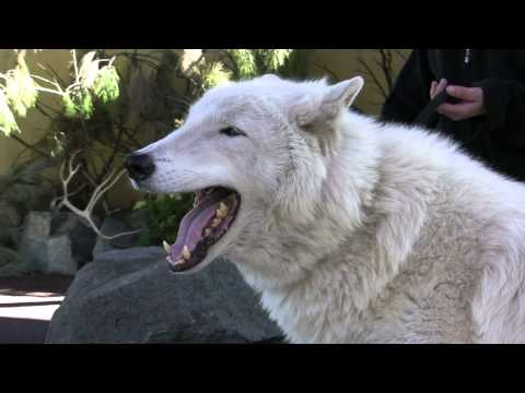 Arctic Wolf Howl.mts video