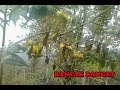 Pikat burung pleci di alam liar mantap thumbnail