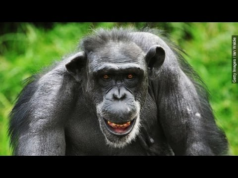 US Government Promises To Retire All Research Chimpanzees - Newsy