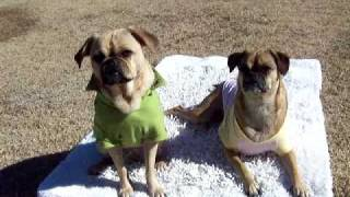 ginger lynn diva and gillian ann-pug/boxer and puggle