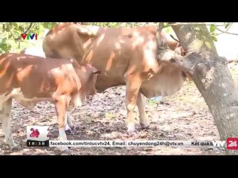 Tình trạng bò lở mồm long móng ở Đồng Nai | VTV24