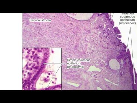 Histologia del aparato reproductor feminino- Biologia del desarrollo
