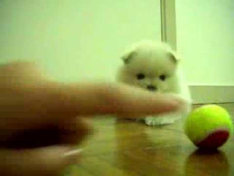 my POMERANIANS playing with super small テニス balls