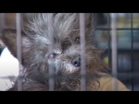 Pitbullpuppies Youtube on More Than 100 Animals Rescued From Arkansas Puppy Mill