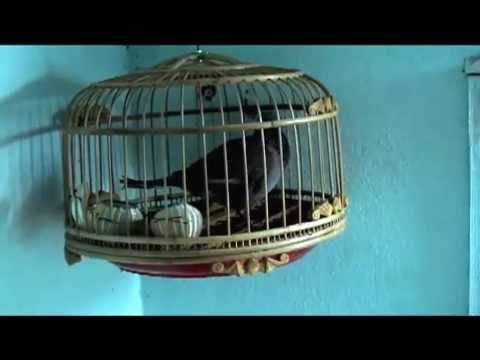 chim cu gáy ( đồng son) của phuong_kofk