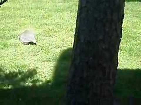Westhampton Beach Guinea fowl movie Pt. 2