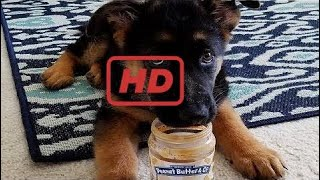 Funniest & Cutest German Shepherd Puppies - Funny Dogs Compilation 2018