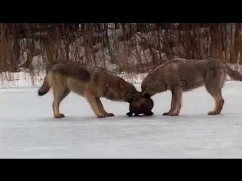 Документальный фильм Волчий сезон