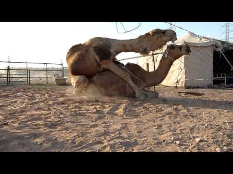 Camels mating Music Videos