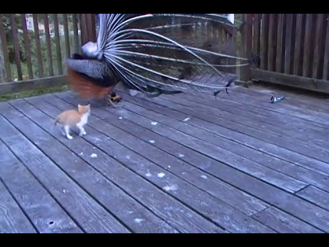 Kitten and His Best Friend Henry the peacock