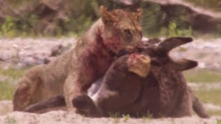 Young Lions kill Donkeys | BBC Earth