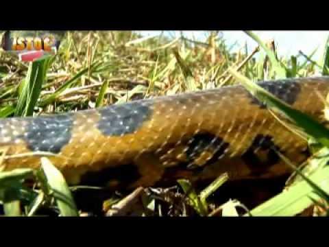 Programa Incrível: Saiba tudo sobre as perigosas anacondas