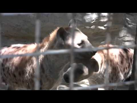 Avilon Zoo! Tigers, Hyenas, Sun Bears & Cats! Part 6 (March 2008) Philippnes