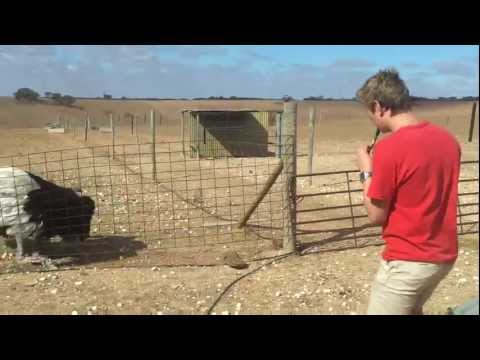 Thumbnail of video Ostrich taming 